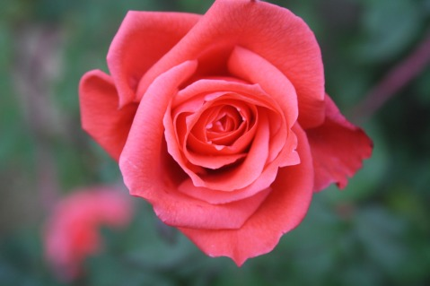 Beautiful Rose at the Gurdum camp