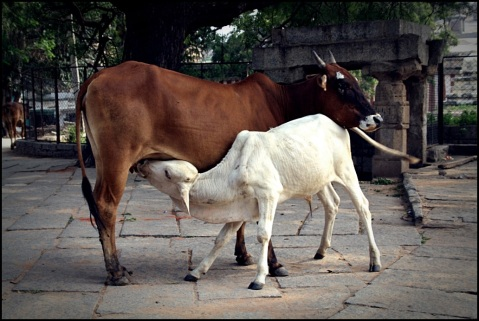 Calf feeding from her mother near the Virupaksha