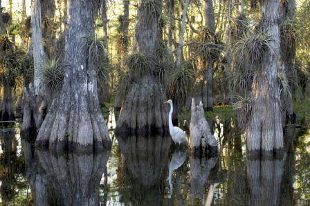 800px-Everglades_National_Park_cypress