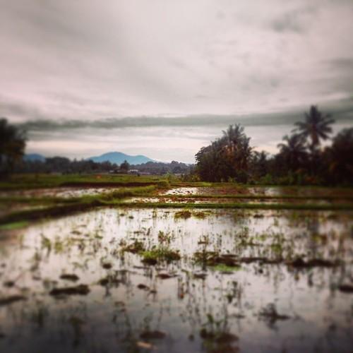 Ubud Paddy Field