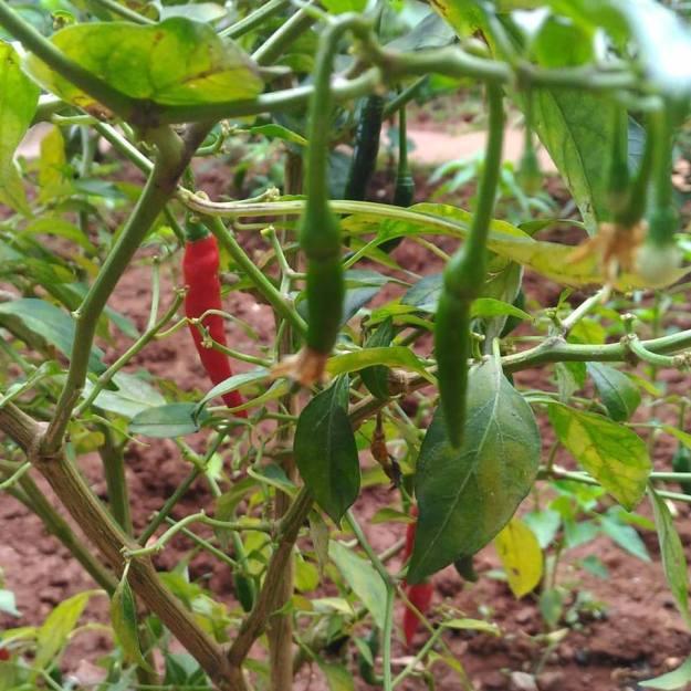 organic-chillies